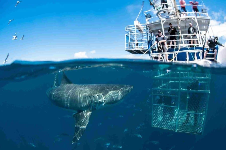 shark cage diving trips