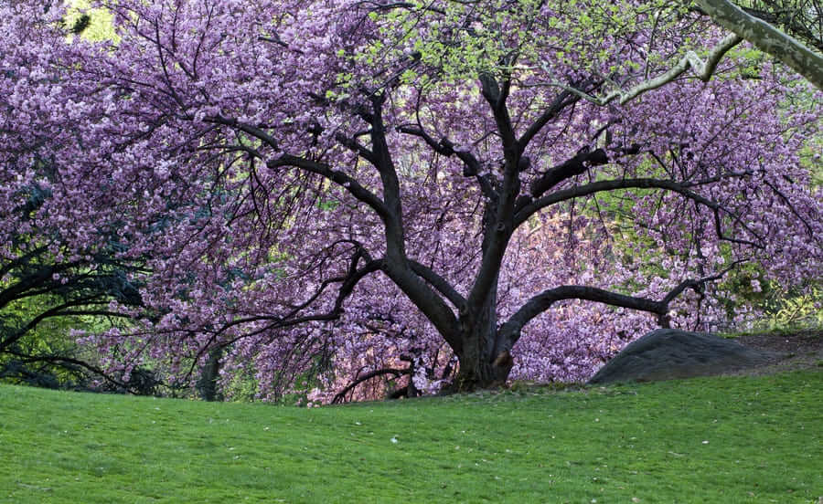 Spring in Central Park with Japanese Cherry trees in full bloom