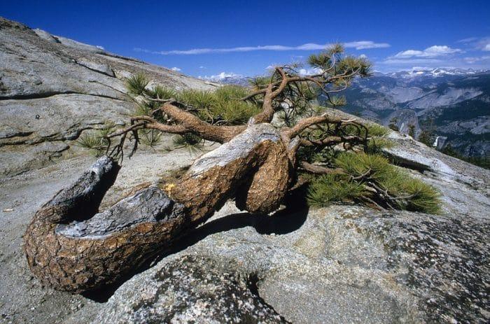 Jeffrey Pine on top of Sentinel Dome Yosemite