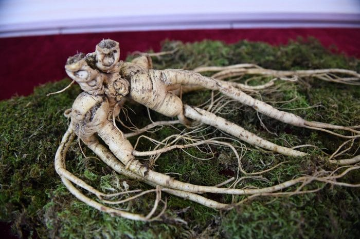 A single wild ginseng root