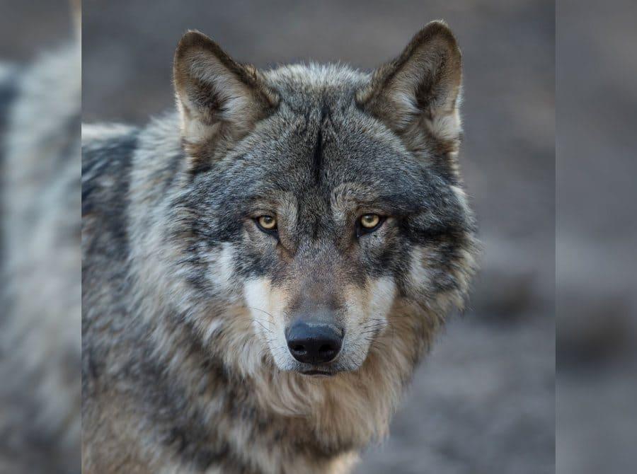 Grey Wolf Animal
