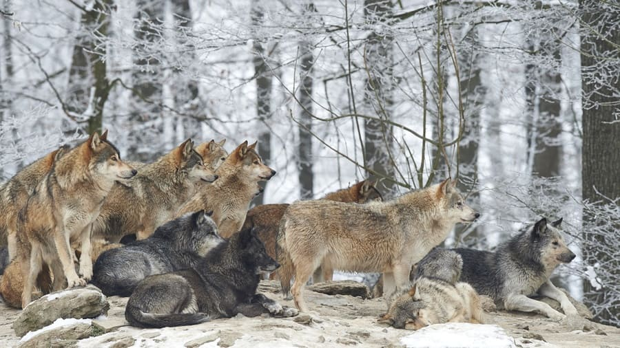 She-wolf with cubs