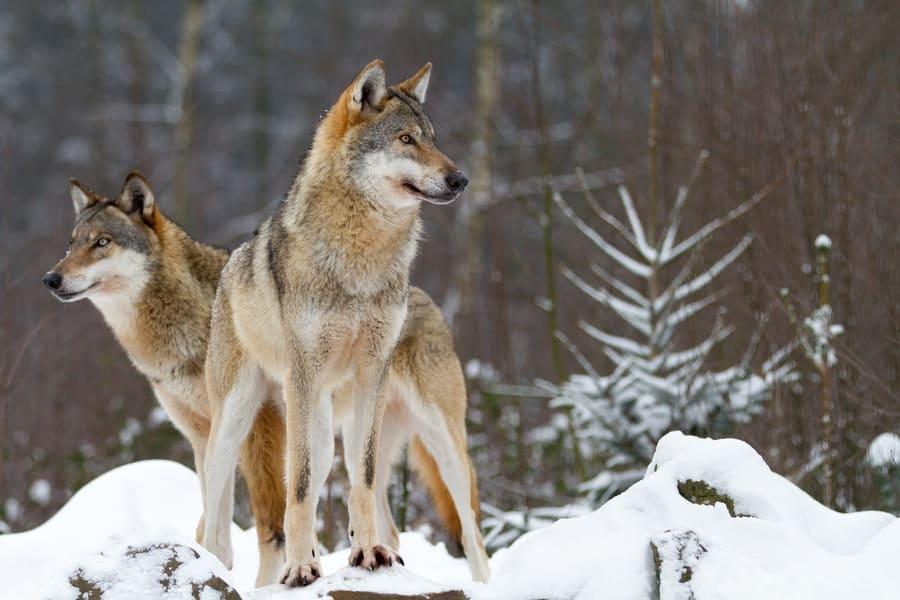 A portrait of wolves