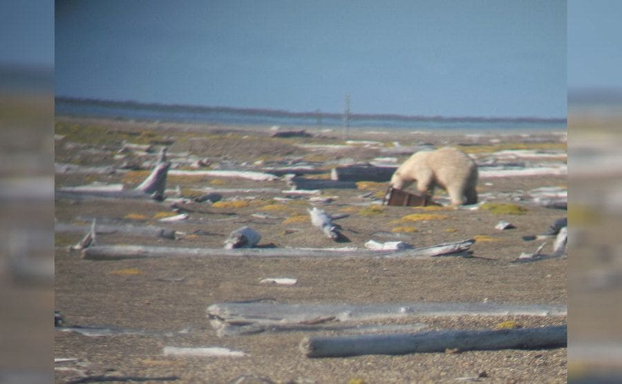 A polar bear sniffing something that is lying on the ground, a photograph taken on Aidan's trip