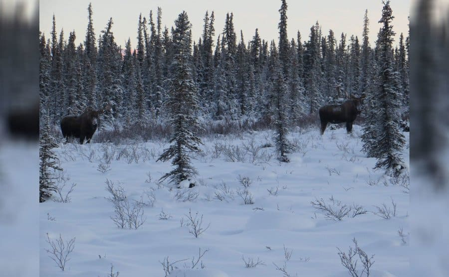 A shot of two moose out in the snow-covered forest near the cabin