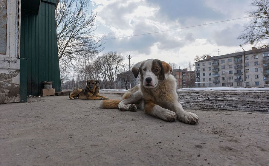 Wild dogs in the abandoned city of Pripyat.