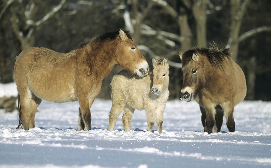 Wild Przewalski's horses in the snow