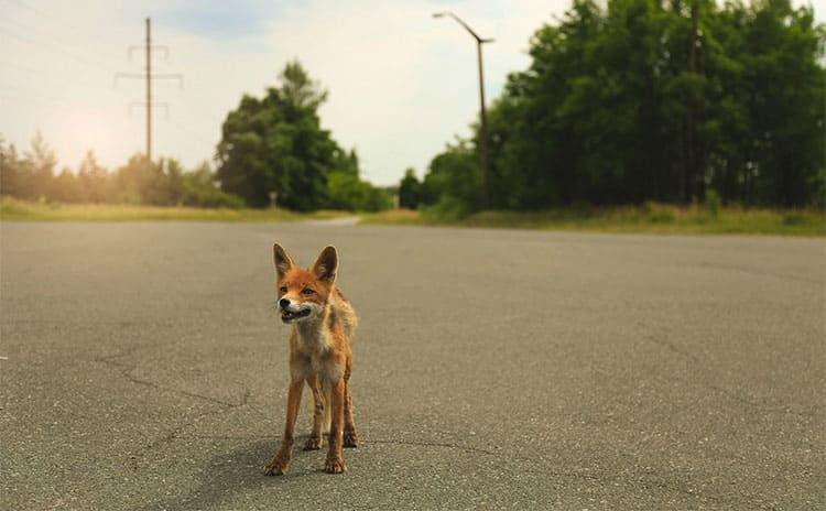 A fox standing on the road