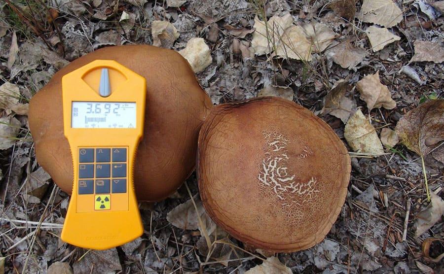 A dosimeter measuring the radiation levels of mushrooms
