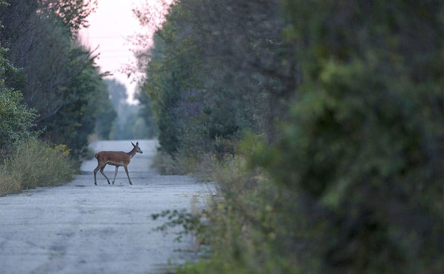 A deer within the exclusion zone