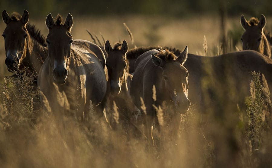Wild Przewalski's horses within the exclusion zone