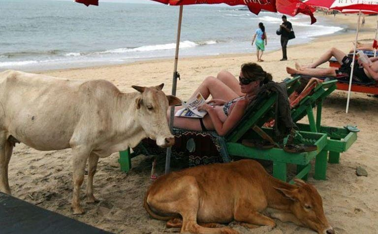 A woman lounging on the beach with two cows taking shade under her umbrella