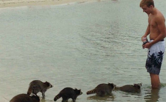 Raccoons lined up to ask for Fritos from a guy in the ocean