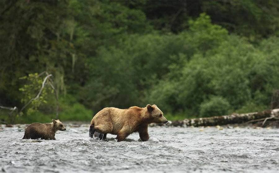 A brown bear with her cub crossing a river
