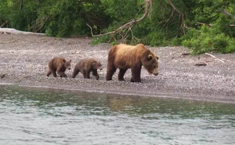 A mother bear with two cubs following her on a river bed