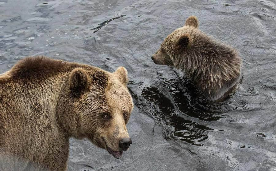 A cute brown bear mother with its baby in the river