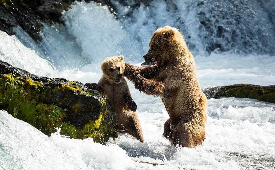A bear and a cub in tough water