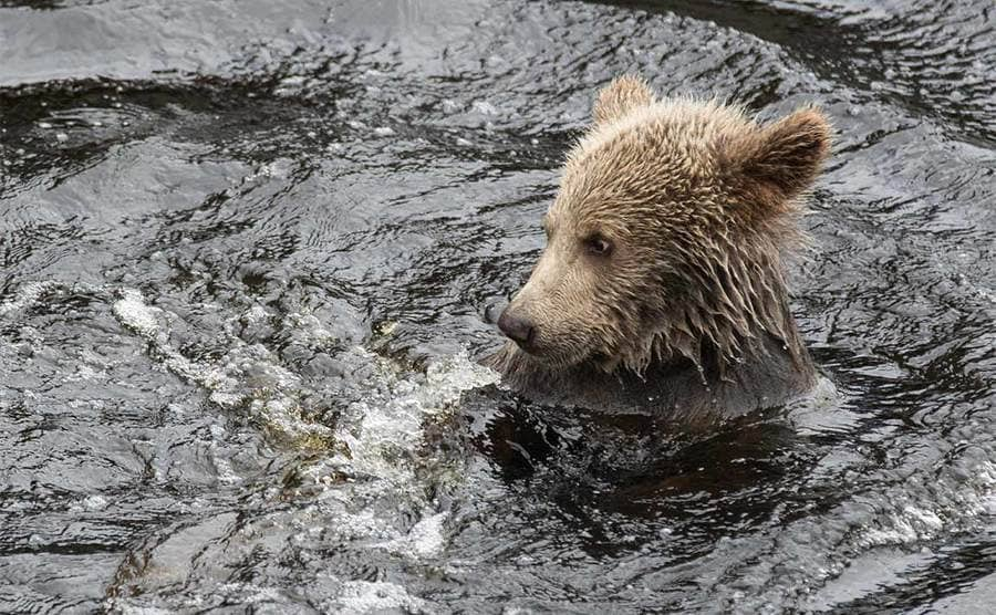 A close-up photograph of a bear cub in the water
