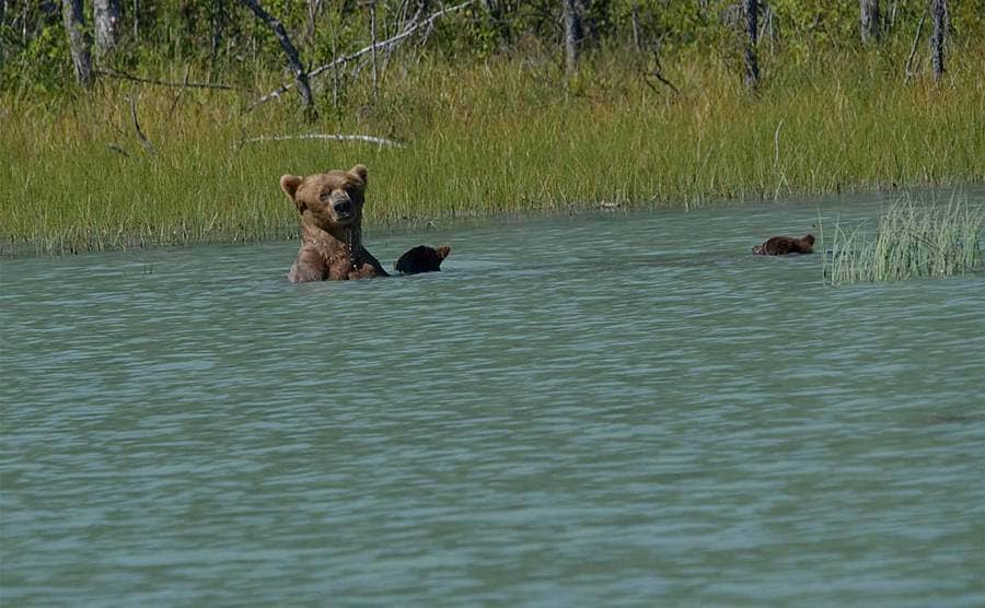 A mother bear with two cubs swimming in the water