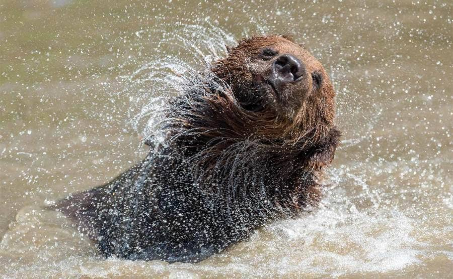 A brown bear swimming in the water