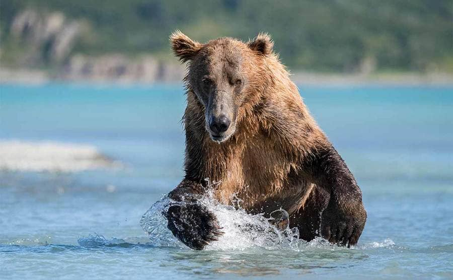 A brown bear running in the water