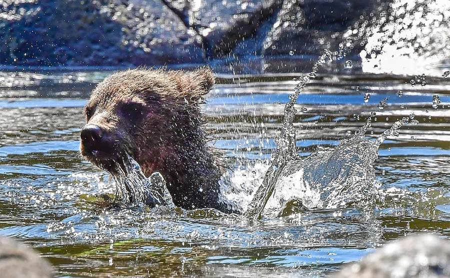 A bear cub paddling in the water