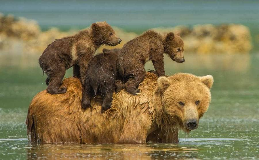 A bear carrying three cubs on its back