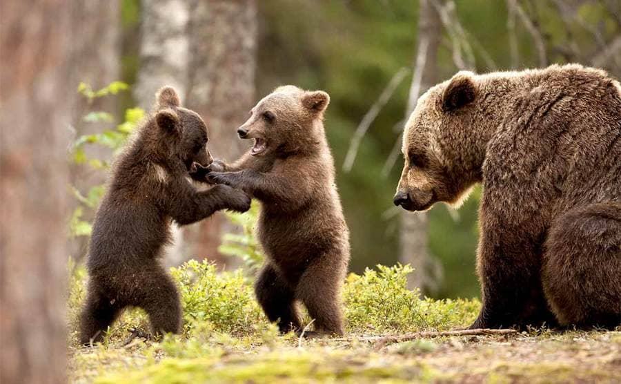 Two bear cubs playing while a mom looks on