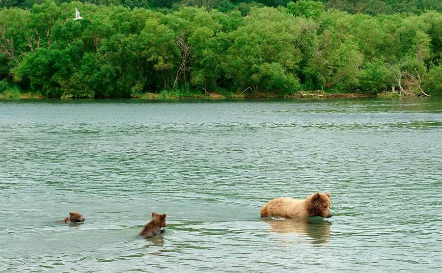 Brown bear and cubs in the water
