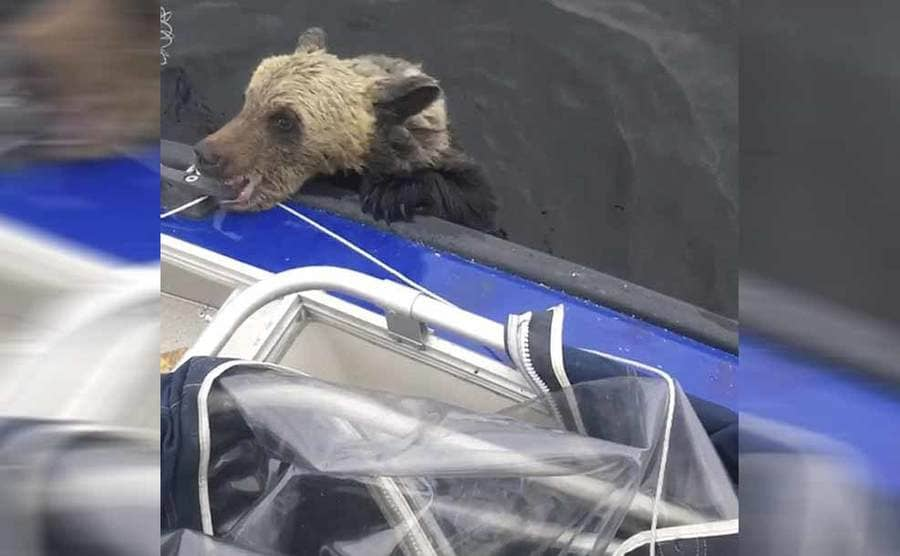 The bear holding on to the boat using its teeth