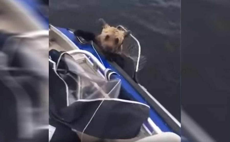 The bear hanging on to the side of the boat while they try to lift him up again