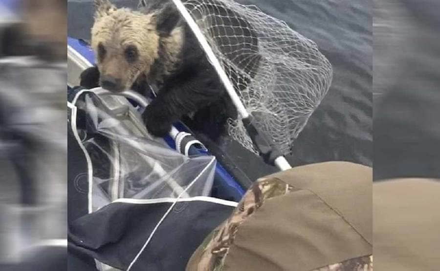 The bear being lifted into the boat