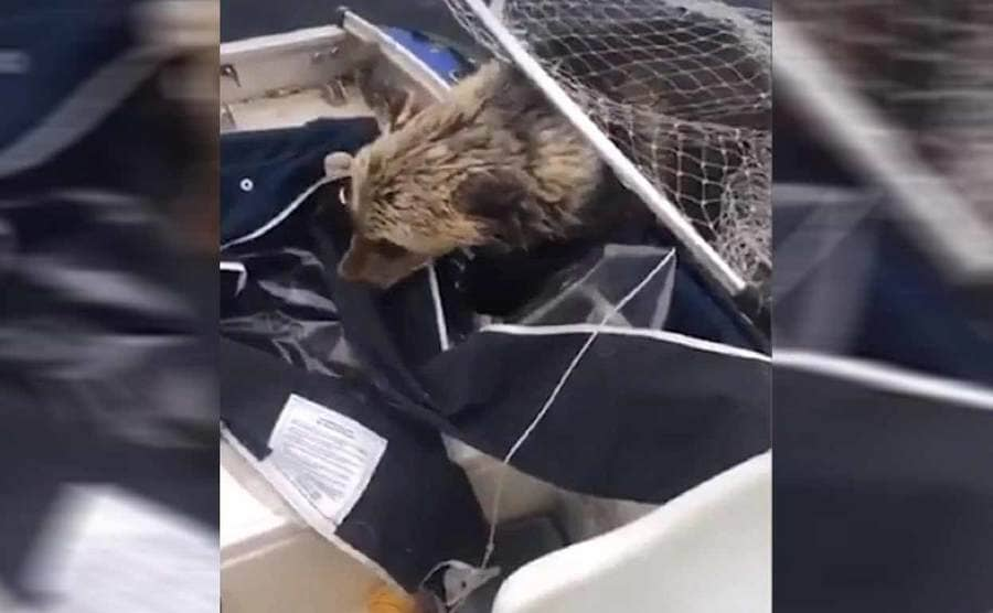 The bear almost fully on the boat