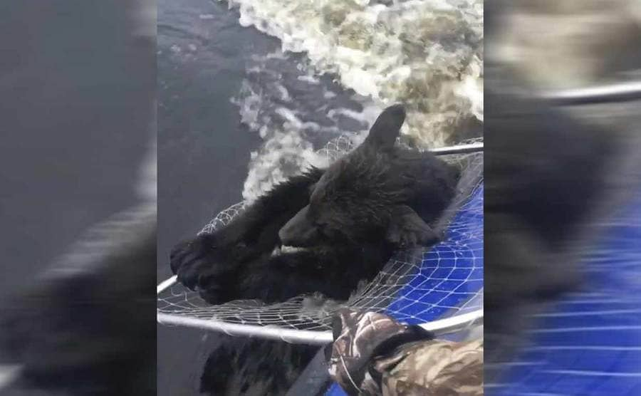 The larger bear hanging onto the net