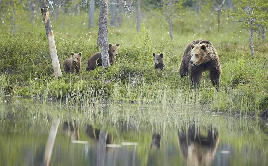 A mother brown bear with her three cubs on the shore