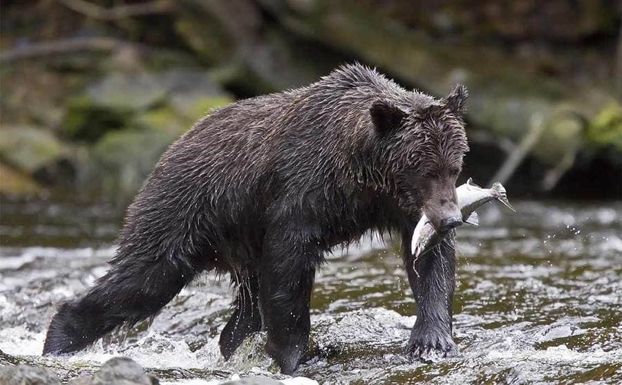 A brown bear holding a fish in the river