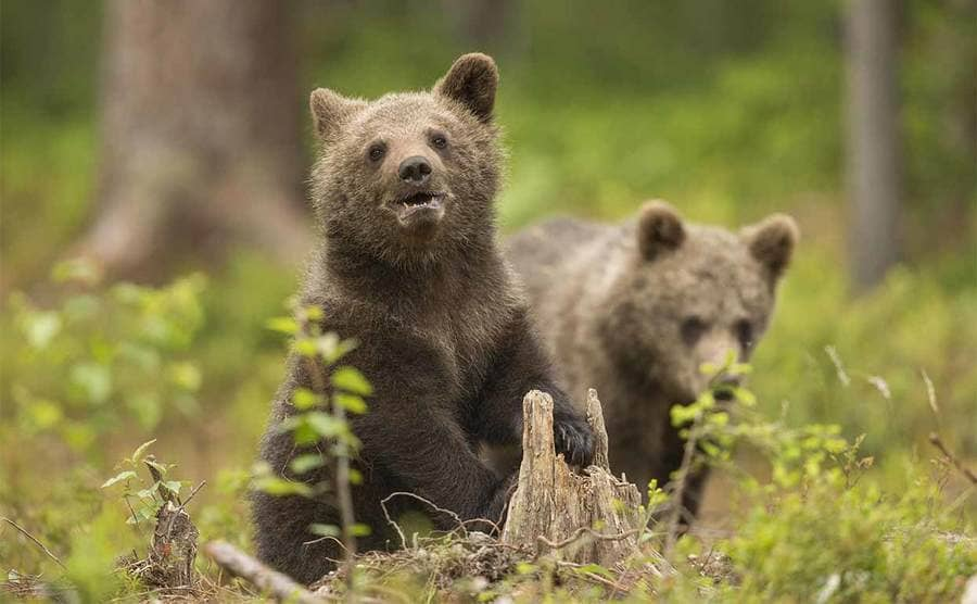 Two cubs looking around