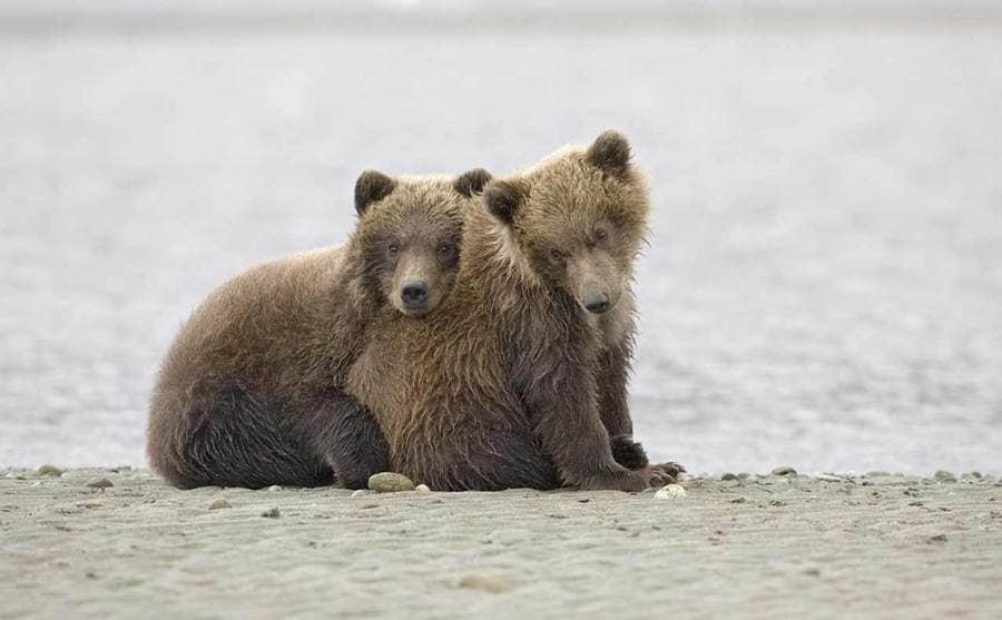 Two cubs hugging and sitting beside the water