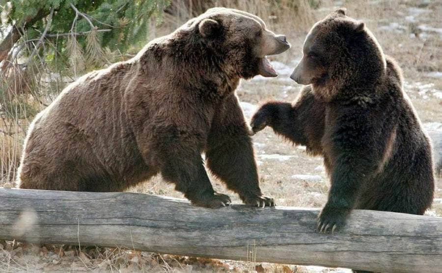 Two bears next to a large log