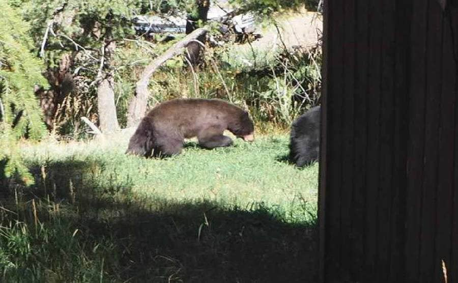 Two bears rolling in the grass