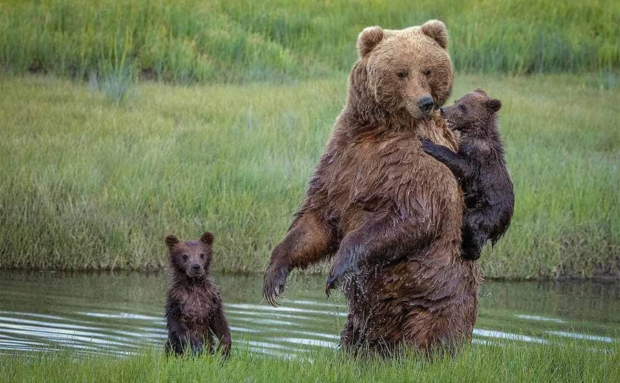 A brown bear playing with its cubs