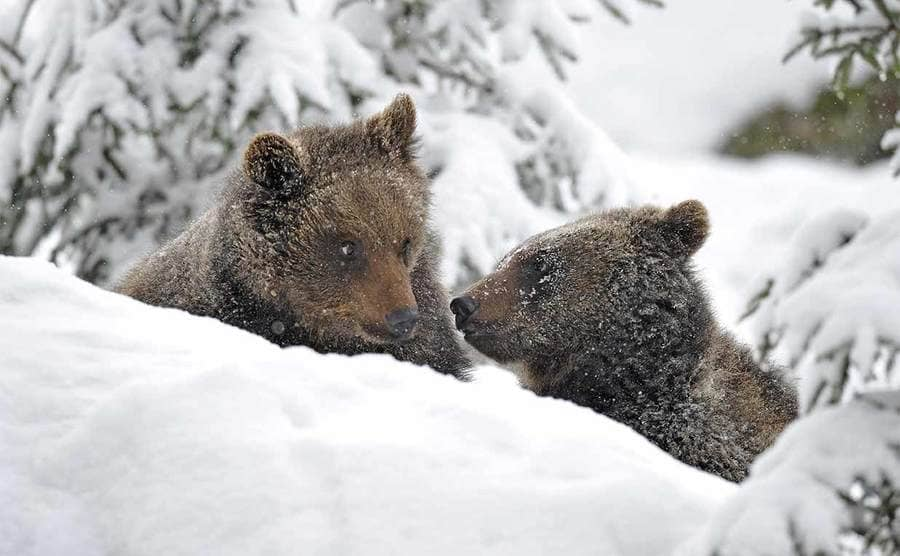 Two brown bear cubs in the snow