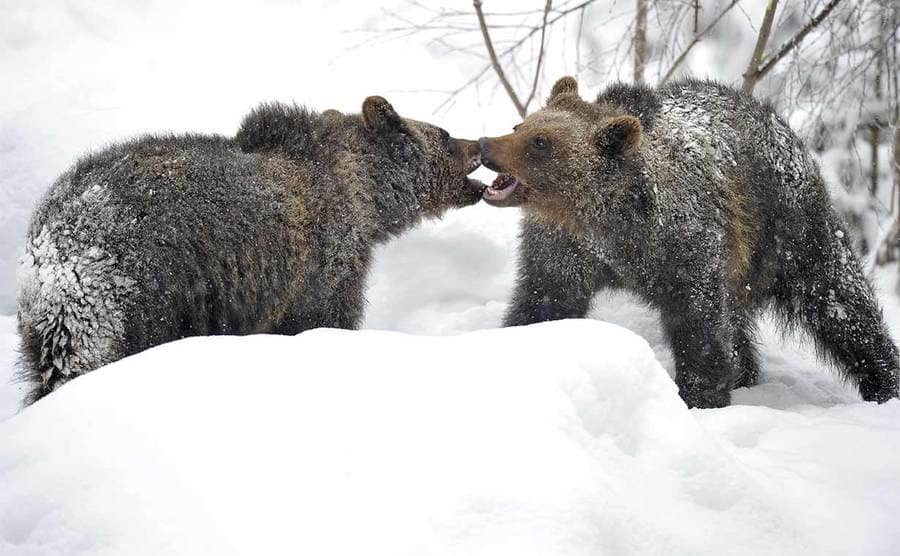 Two bear cubs playing in the snow