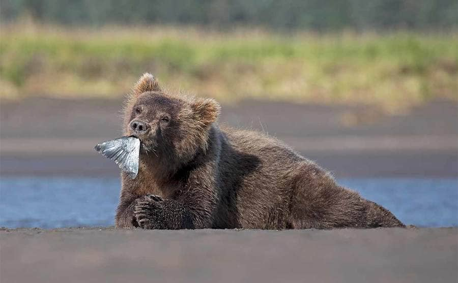 A brown bear with a fish tail hanging out of its mouth