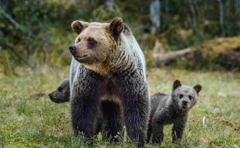 A brown bear and her cubs standing behind her