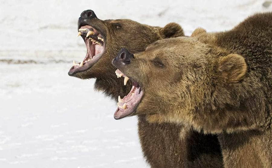Two grizzly bears with their mouths open