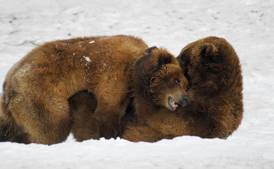 Two adult bears wrestling in the snow