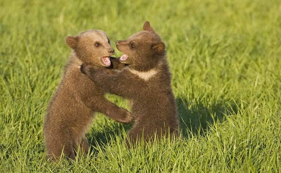 Two bear cubs playing in the tall grass