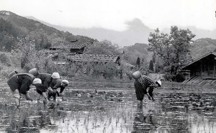 Men and women out planting rice seedlings