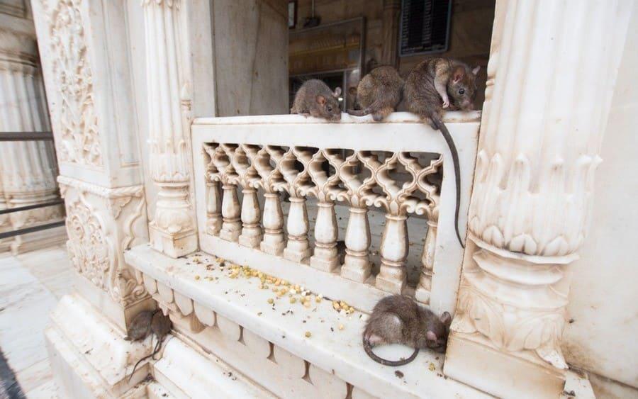 Karni Mata Temple, aka the Temple of Rats, Rajasthan, India